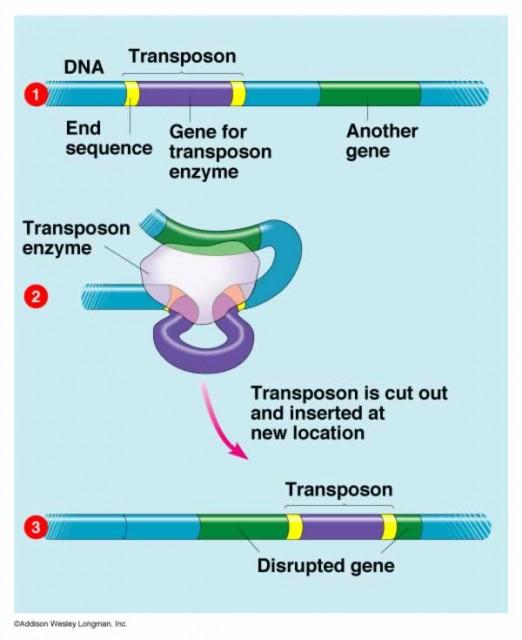 Dibujo20131106 transposon - gene disruption