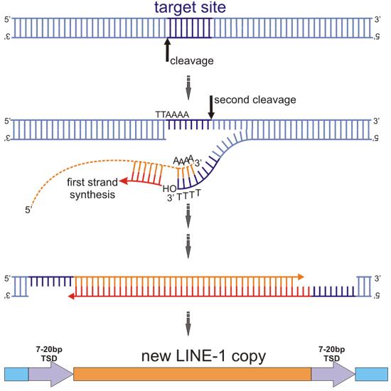 Dibujo20140105 retrotransposon - line-1 - copy