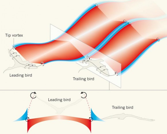 Dibujo20140115 spatial synchrony - flight creates a looping motion of air around a bird wings