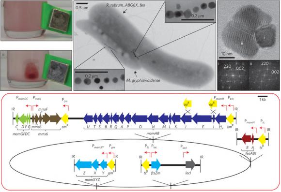 Dibujo20140306 Schematic representation of molecular organization of gene cassettes inserted into the chromosome of R rubrum - nature nanotech