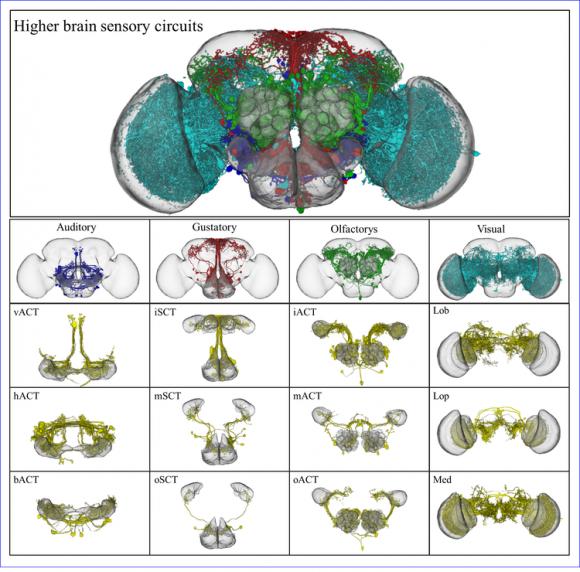 Dibujo20140411 drosophila brain - higher brain sensory circuits - neuroinformatics