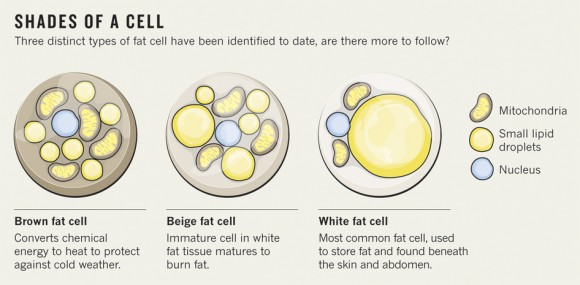 Dibujo20140417 color - shades of fat cells - brown beige white fat cells - nature outlook