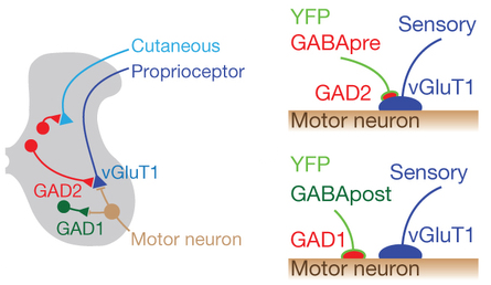 Dibujo20140501 Genetic targeting of GABApre neurons - nature