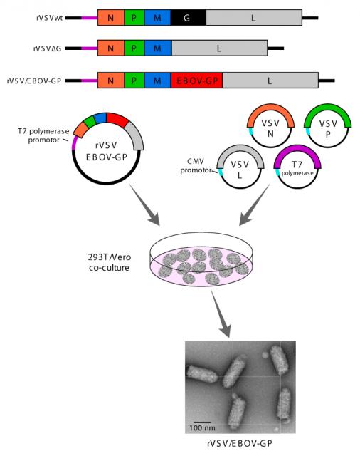 Dibujo20141019 rVSV vaccine - ebola - omics online
