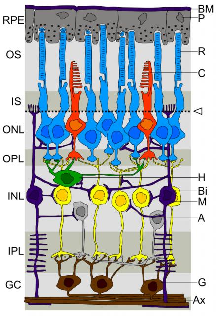 Dibujo20141101 retina layers - wikipedia