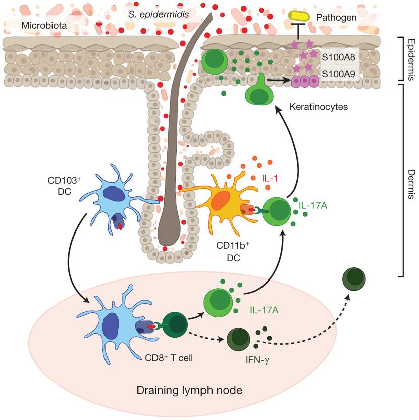 Microorganismos en la piel y la respuesta inmune - La
