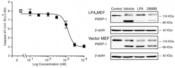 Dibujo20150124 dbibb dose dependently inhibits activation of caspases - gamma irradiation - chem biol