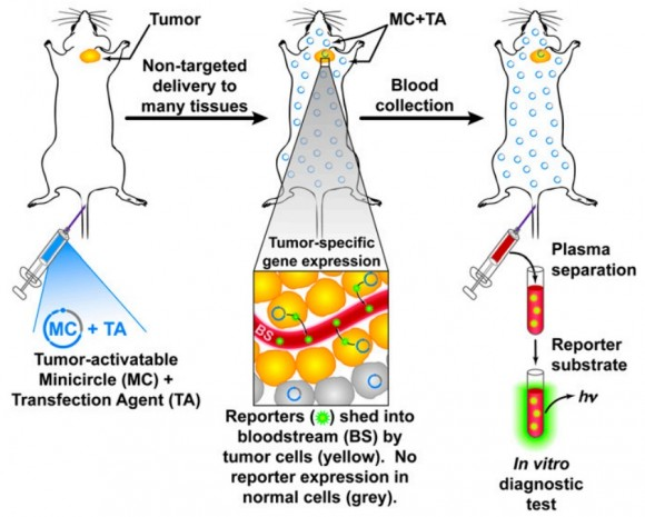 Dibujo20150228 Schematic blood-based tumor-activatable minicircles approach for cancer detection - pnas org