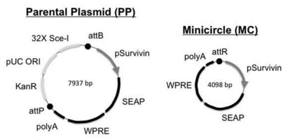 Dibujo20150228 design tumor-activatable minicircles for cancer detection - pnas org