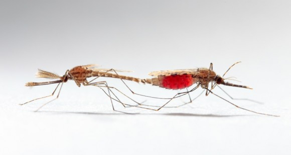 Dibujo20150306 Sexual conflict in mosquitoes may have worsened spread of malaria - science mag
