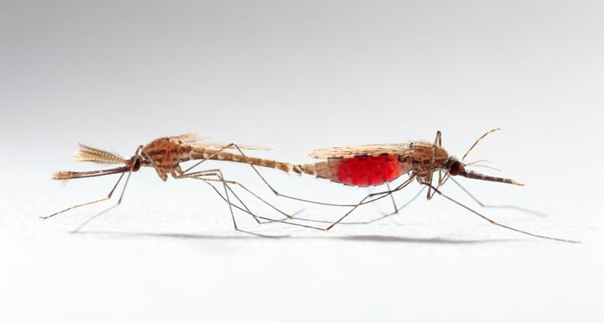 Francis en #rosavientos: El sexo entre mosquitos es el culpable de ...