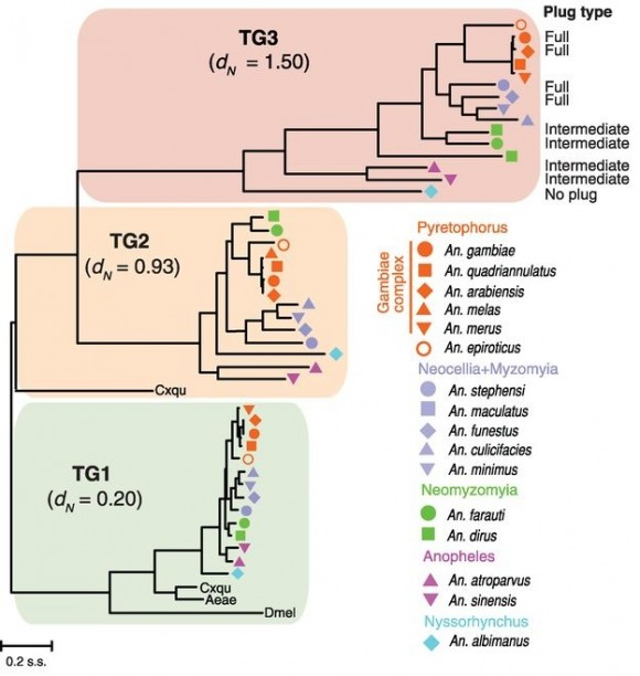 Dibujo20150306 tg1 tg2 tg3 phylogenetic analysis in mosquitoes - science mag
