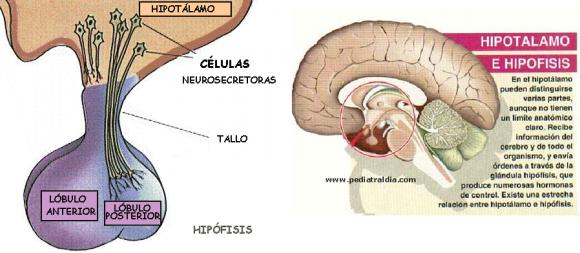 Dibujo20150419 hipotalamo - hipofisis - oxitocina - encefalo - www pediatraldia com