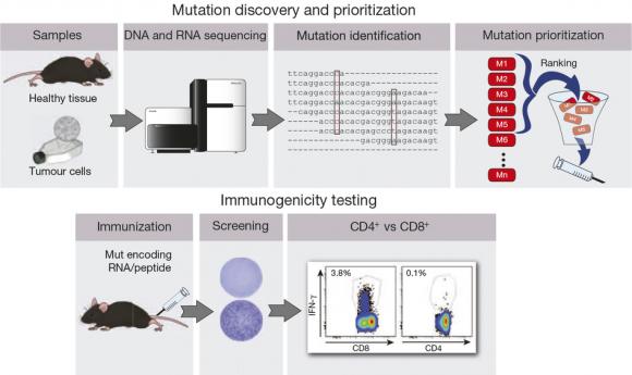Dibujo20150425 mutation discovery and priorization - immunogenicity testing - nature com