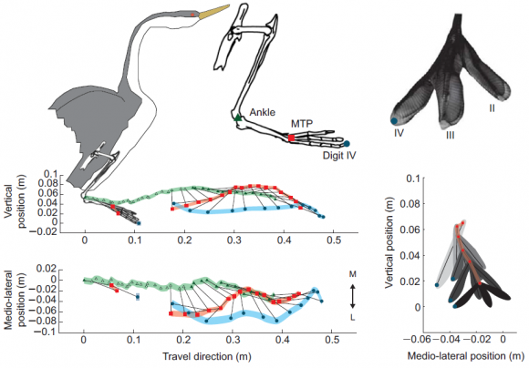 Dibujo20150501 3D kinematics of a complete rushing stride with respect to bird travel direction and vertical - j exp biol