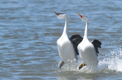 Dibujo20150501 How grebes walk on water - Nature - photo by Susan Bissell