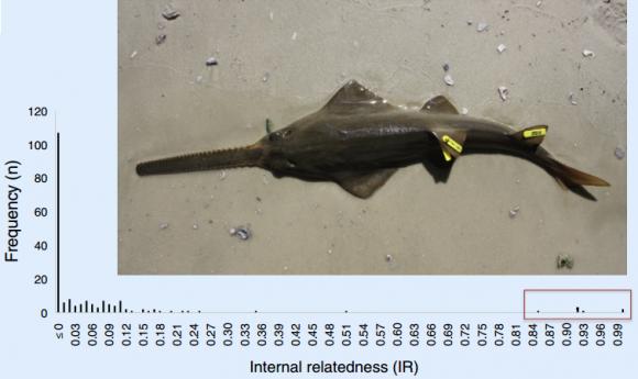 Dibujo20150606 frequency vs internal relatedness smalltooth sawfish - cell press - sciencedirect com