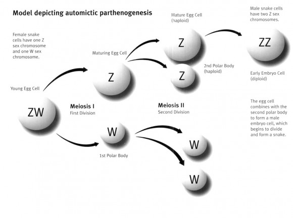 Dibujo20150606 model depicting automictic parthenogenesis - salmonboa com