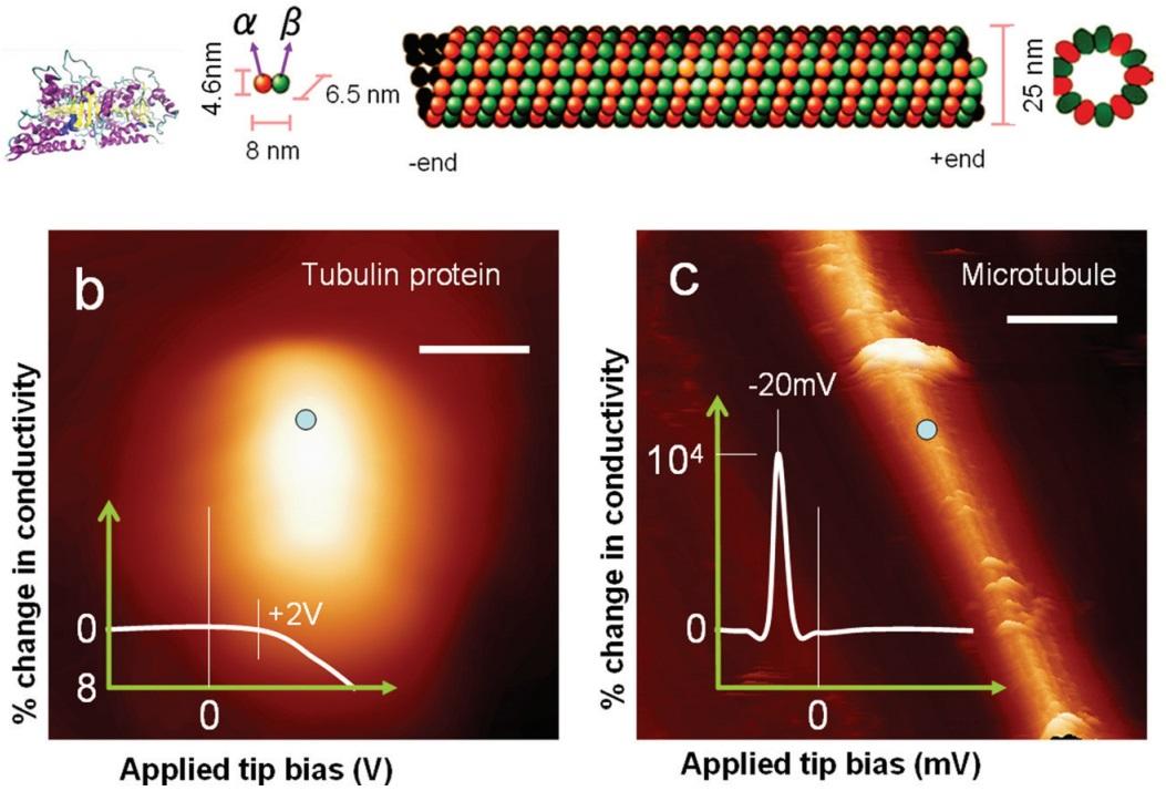 Resultado de imagen de microtubos con efectos cuánticos de la conciencia