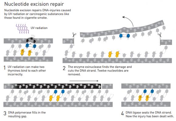 Dibujo20151007 nucleotide excision repair - nobel prize chemistry 2015 - lindahl - mondrich - Sancar