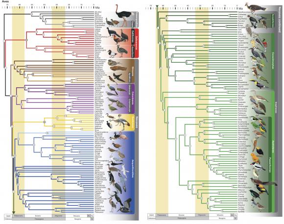 Dibujo20151012 Phylogeny of birds - nature com