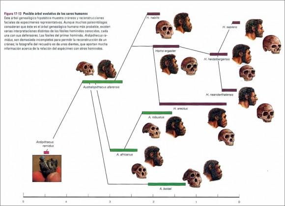 Dibujo20151021 arbol evolutivo humano mediateca cl