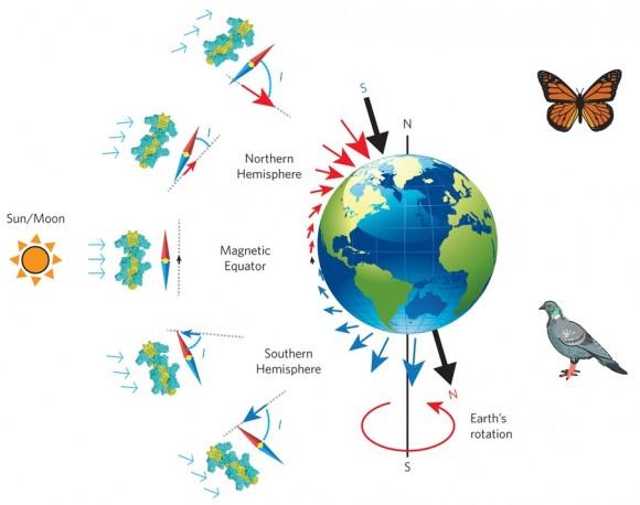 Dibujo20160114 The biocompass model of animal magnetoreception and navigation nmat4484-f1