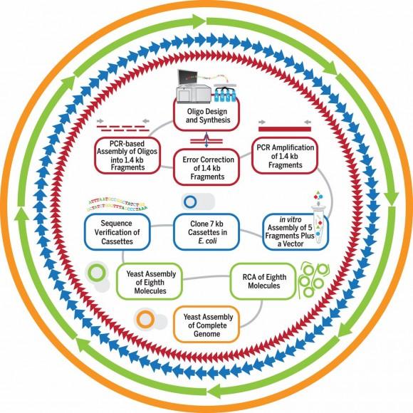 Dibujo20150325 F3 Syn-3 0b microorganism craig venter sciencemag org