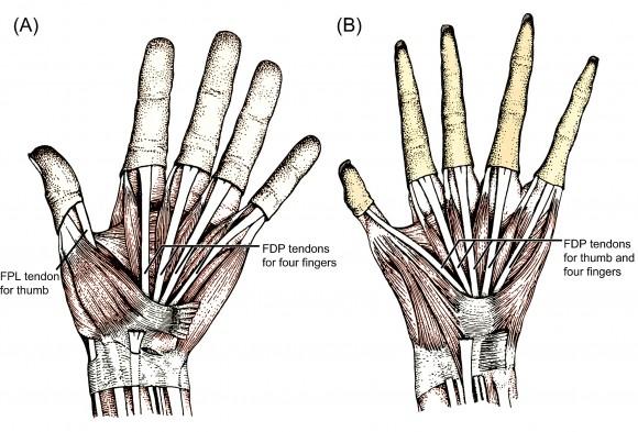 Dibujo20160303 human hand barbary ape hand plos one creacionist paper