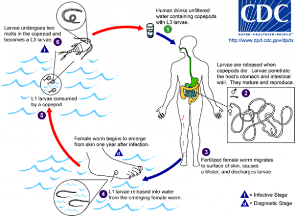 Dibujo20160402 General life cycle of Dracunculus medinensis in humans Drac_life_cycle cdc us wikipedia