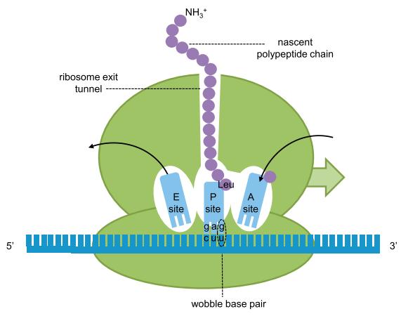 Dibujo20150526 Translation in the Ribosome and tRNA Structure cell press sciencedirect com
