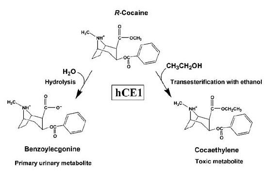 Dibujo20160501 cocaine hydrolysis benzoylecgonine nature com
