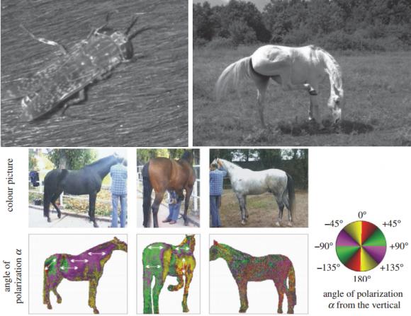 dibujo20160923-reflection-polarization-characteristics-of-black-brown-and-white-horses-journal-rspb-royalsocietypublishing
