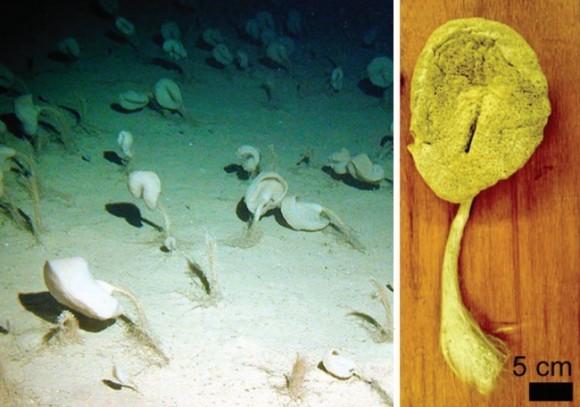 dibujo20161002-sponge-sericolophus-hawaiicus-in-kona-island-hawaii-and-dried-individual-showing-flexible-needle-like-spicules