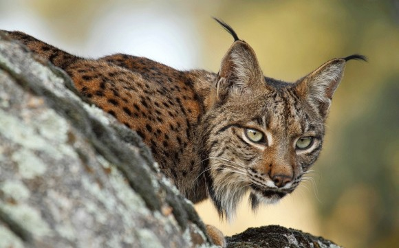 dibujo20161231-iberian-lynx-source-fundacion-altarriba
