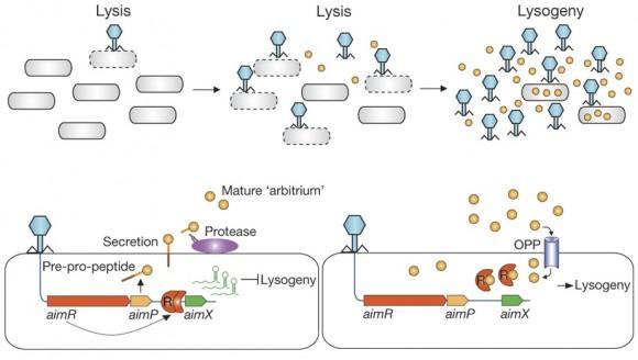 Dibujo20170201 Mechanistic model for communication-based lysis-lysogeny decisions nature21049-f6