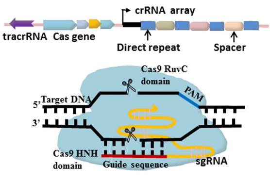 Dibujo20170609 Mechanisms of CRISPR-Cas9-mediated genome editing J Med Genet 2015 jmedgenet-2014-102968