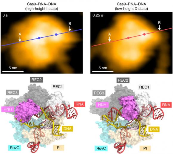 Dibujo20171114 Structural rearrangement of the HNH domain CRISPR-Cas9 HS-AFM nature s41467-017-01466-8