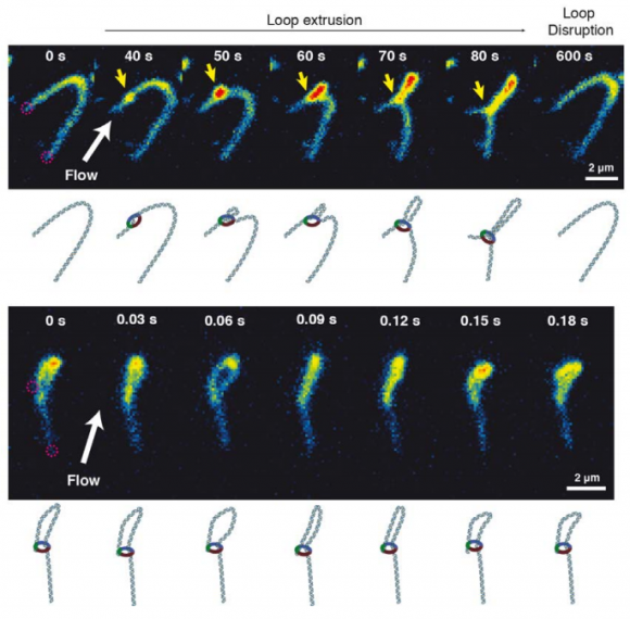 Dibujo20180223 Real-time imaging of DNA loop extrusion by condensin sciencemag science aar7831