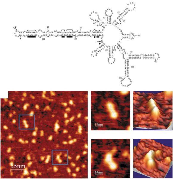 Viroides observados con un microscopio de fuerza atómica