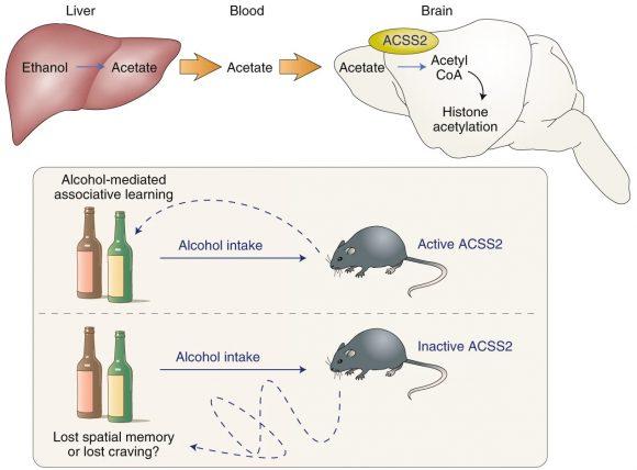 Una conexión epigenética entre el consumo de alcohol y la adicción