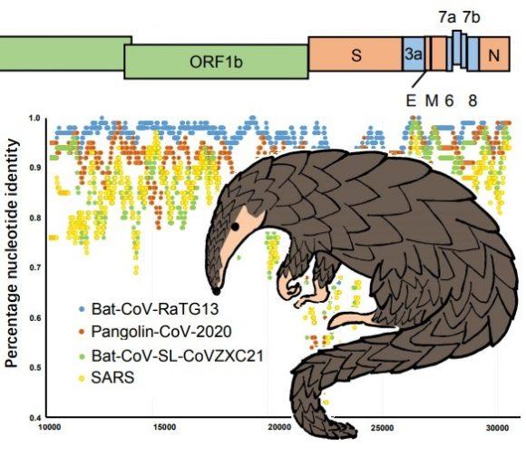 La relación entre el coronavirus de Wuhan y el coronavirus del pangolín