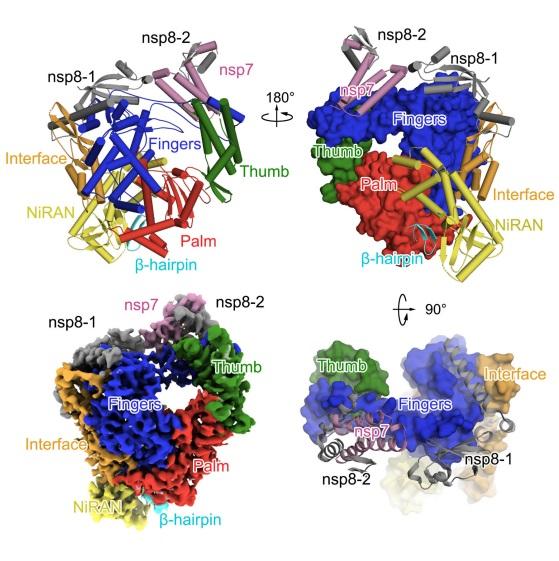 La estructura tridimensional de la polimerasa de ARN del coronavirus SARS-CoV-2