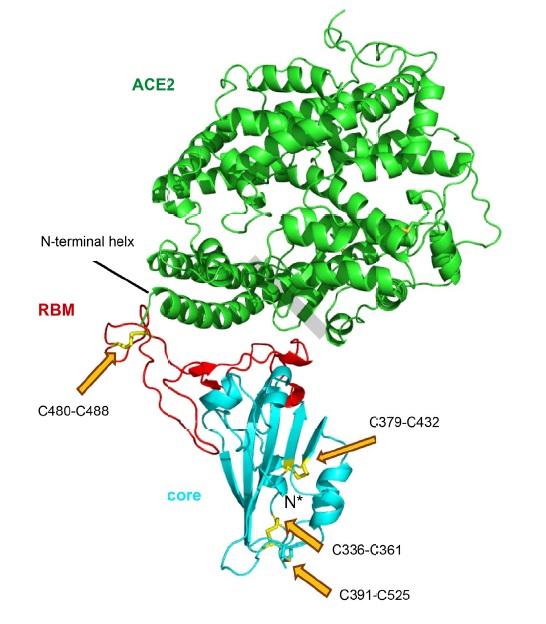 Cómo se une el coronavirus SARS-CoV-2 al receptor ACE2 de la célula huésped