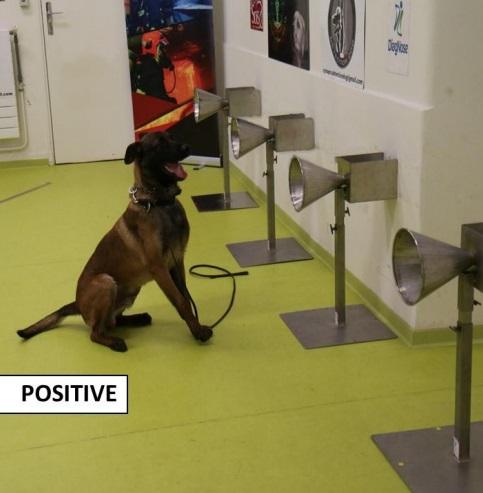 Los perros entrenados en detección de olores pueden detectar la COVID-19 en el sudor humano