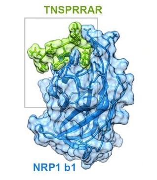 El posible acoplamiento del coronavirus SARS-CoV-2 al receptor NRP1 en las células humanas