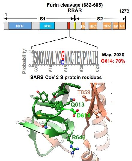 In vitro, la mutación D614G de la espícula del coronavirus SARS-CoV-2 incrementa su infectividad
