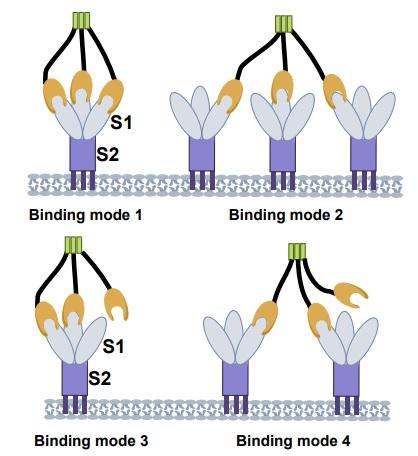 El uso de la ACE2 trimérica como antiviral contra SARS-CoV-2 (resultados in vitro)