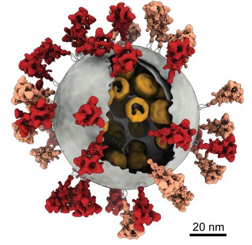 La arquitectura molecular del coronavirus SARS-CoV-2