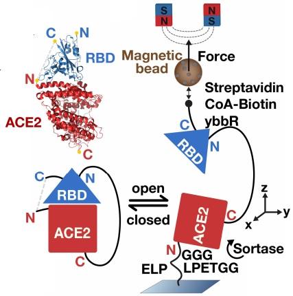 La fuerza mecánica de la unión de la espícula de SARS-CoV-2 al receptor humano ACE2